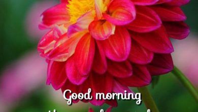 Rose a good morning photo Greetings Images 390x220 - Rose a good morning photo Greetings Images