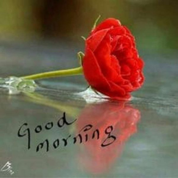 Rose good day morning images Greetings Images - Rose good day morning images Greetings Images